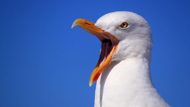 Angry Seagull